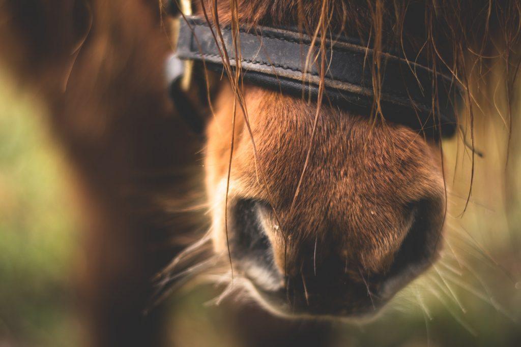Hestemule